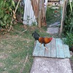 Rooster near the grounds of the guesthouse