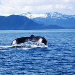 A humpback whale fluking just out form the lodge!