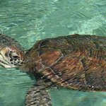 turtles in xcaret