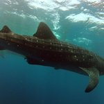 Whale Shark season is soon approaching