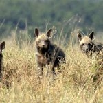 Striped Hyenas