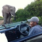 Close encounter with an elephant bull, with Darlington at the wheel