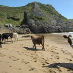 POBBLES BAY, GOWER PENINSULAR WHEN A HERD OF COWS CAME DOWN THE SAND DUNES!!