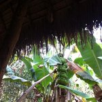 sleeping under banana trees