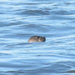  Seal at Ocean City&#39;s inlet