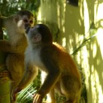 squirrel monkeys on villa property