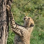 Cheetahs in den Plains