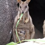 Rock wallaby with joey