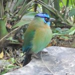 Motmot near the lodge