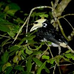  Hornbill sleeping outside our lodge
