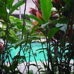  The red ginger makes a lush tropical screen for the pool.