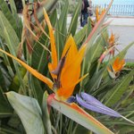  Bird of Paradise, growing everywhere