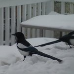  magpies on the deck, overlooking Great Slave Lake