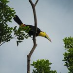 Toucan on Ancon Hill