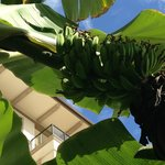 banana tree on grounds