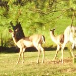  Deer that were walking around on the property