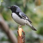 Black-throated Blue Warbler just a taste of what can be easily found on the property. Want to se