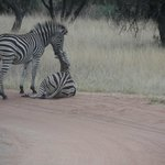 Beautiful Zebras on a morning game drive