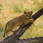  Ximhungwe pride cub playing