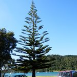 Norfolk Pine - Whangamata Harbour