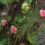Anthuriums and tree ferns