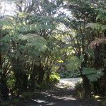  Giant tree ferns line driveway