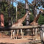  Giraffes