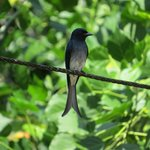 White-bellied Drongo, on the property