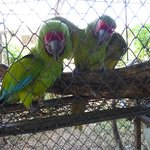 Green Macaws....macaws pair up for life....sweet macaw couple......