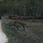 Tiger crossing road in Pench
