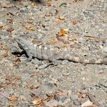  Lizard seen in Jungle Beach parking lot