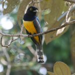 Black-headed Trogon in tree by cabin