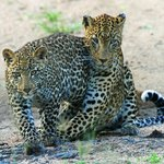 Vomba female leopard and cub