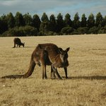 Kangaroo grazing at  Hanson Bay