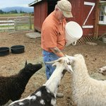 Saff member feeding the goats and othe critters in Blue Heron's barnyard near the parking lot.