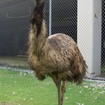  Kramer the emu.