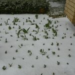  Typical St. Louis weather-flowers in bloom with snow on the ground
