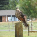  New Zealand Falcon - endangered species