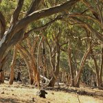 The beautiful gum trees surrounding Clare Valley