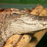 Crocodiles of the World is the UK's only crocodile zoo