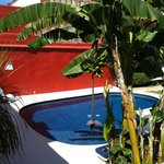  Banana tree by the pool.