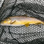  Brown Trout 2013