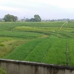  Rice fields view