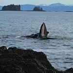 A Humpback Whale off the beach by the Black Bear Inn