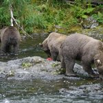 Brown bears fishing for salmon at Russian River Falls