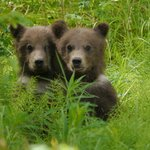 Bear cubs visiting Gwin's Lodge