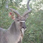 Magnificent Kudu