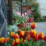  More spectacular tulips!