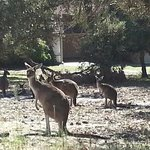  Kangaroos everywhere