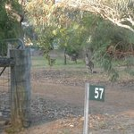  Host drove us around to catch glimpses of wild suburban kangaroos on his own accord